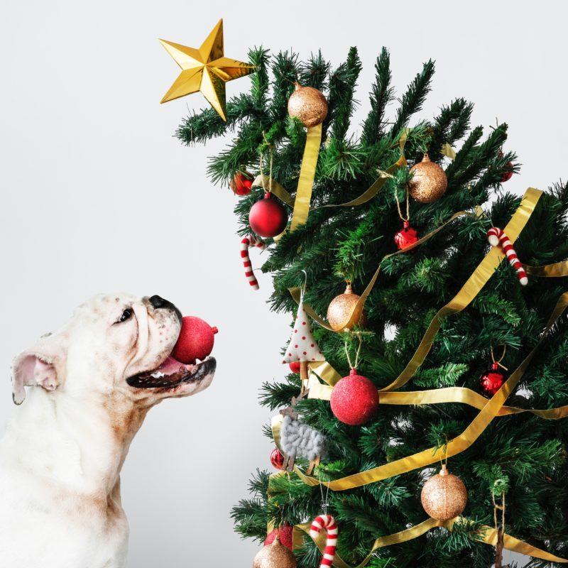 animal-bulldog-candy-cane-1663416